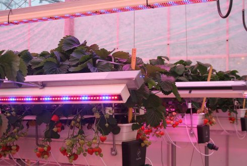 LEDs produce more and tastier strawberries