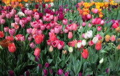 10,000 tulips to fill the residence of the Dutch a ...